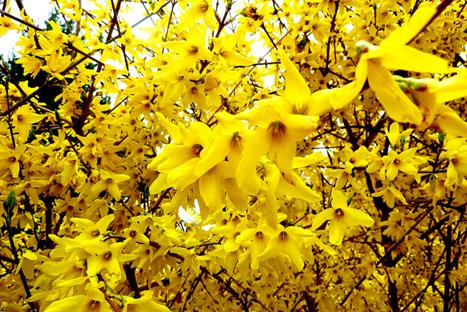 forsythia-intermedia_weekend_1.jpg