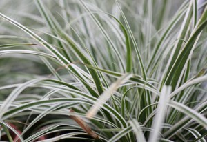 carex-everest_1.jpg