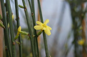 jasminum-nudiflorum_1.jpg