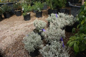lavandula-angustifolia_richard-grey_1.jpg